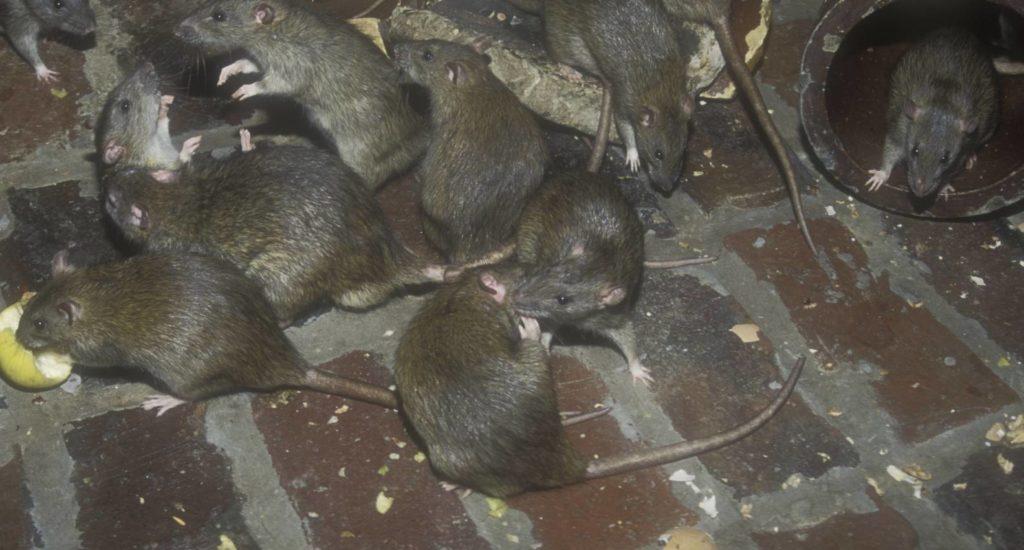 уничтожение крыс в Ачинске