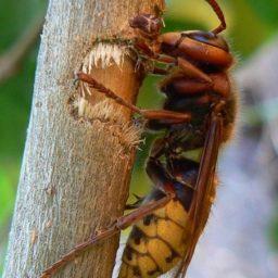 Уничтожение шершней в Ачинске